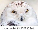 Snowy Owl Portrait - stock photo