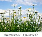 Blooming chamomile flowers against blue sky - stock photo