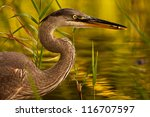Great blue heron (Ardea herodias) with fish among vegetation. Montreal, Quebec, Canada, North America. - stock photo