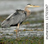 Great Blue Heron looking for fish (Ardea herodias), North Vancouver Island, British Columbia, Canada, North America. - stock photo