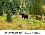 Male Western moose portrait (Alces alces andersoni). Kananaskis, Alberta, Canada, North America - stock photo