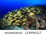 Bluestripe snappers in the coral reef - stock photo