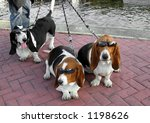 bassett hounds with sun glasses - stock photo