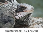 close-up of iguana - stock photo