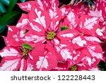 Pink and white poinsettias, Christmas flowers - stock photo