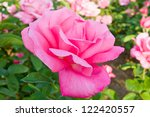 Beautiful pink rose in a garden. - stock photo