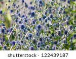 The Globe Thistle, Veitch's Blue (Echinops ritro) flower in  garden in summer - stock photo