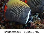 Redtail butterflyfish (Chaetodon collare) in the coral reef - stock photo