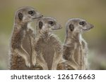 Wild meerkats (aka suricates), Karoo, South Africa - stock photo