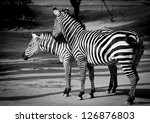 zebra couple black and white - stock photo