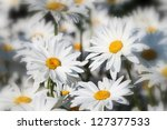 White daisies flower field background - stock photo