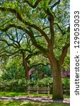 Oak tree with moss in a park of Savannah Georgia - stock photo