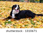 Bernese Mountain dog lying in leaves - stock photo