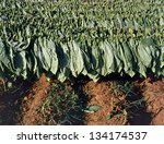 Tobacco  leafs after the harvest drying in the sun - stock photo