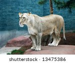 female white lion - stock photo