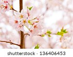 Blossoming cherry, spring background. selective focus, shallow dof - stock photo