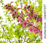Branch of blossoming apple tree, spring background. selective focus. - stock photo