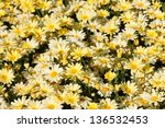Yellow daisies (Rudbeckia) flower background - stock photo