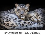 Leopard pair - stock photo