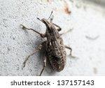 Cleonis weevil - stock photo