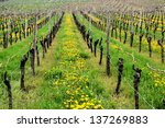 Rows of dandelions and wine in a vineyard in spring - stock photo