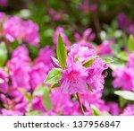 Azalea at spring. selective focus - stock photo