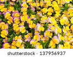 Colorful violet and yellow pansy flowers.  Nature background. - stock photo