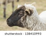 Portrait of sheep on a natural background - stock photo