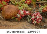 Red and Green Plants (Crassulaceae  family) - stock photo