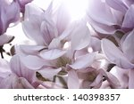 Pink Magnolia Flower in the Sunlight - stock photo