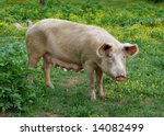 Female pig on a green meadow with flowers - stock photo