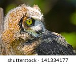 Great Horned Owlet - stock photo