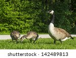 """Close to mother brant """"Anser anser"""" with her children - stock photo"""