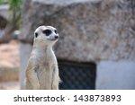 Suricate or meerkat standing in alert position - stock photo