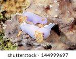 a pair of mating nudibranchs, or sea slugs, Hypselodoris bullocki. Uepi, Solomon Islands. Solomon Sea, Pacific Ocean - stock photo