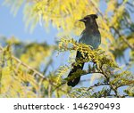 The Steller's Jay (Cyanocitta stelleri) is a jay native to western North America. Alert Bay, Vancouver, British Columbia, Canada, North America. - stock photo