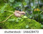 Gunther's Amoy Frog - stock photo