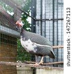 guinea fowl - stock photo