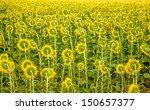 Sunflowers landscape - stock photo