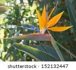 tropical flower ; bird of paradise  - stock photo
