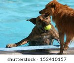 two dogs having fun at a swimming pool  - stock photo