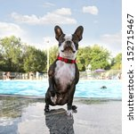 a boston terrier swimming in a public pool  - stock photo