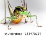 Green Grasshopper isolated, closeup. - stock photo