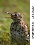 A song thrush - stock photo
