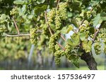 White Grapes in the Vineyard By Harvest Time - stock photo