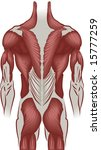 An illustration of the muscles of the human back - stock vector