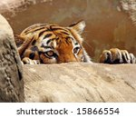 Tiger peeking over ledge - stock photo