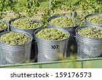 Containers Full Of White Grapes On The Trailer By Harvest Time - stock photo