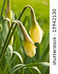 two daffodils in green spring garden - stock photo
