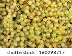 Just picked wine grapes during the harvest in France - stock photo